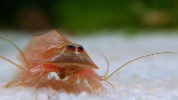 una tormenta hizo reaparecer a un crustaceo prehistorico