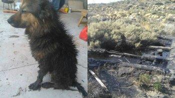 una perra se cayo a un pileton de petroleo sin senalizar