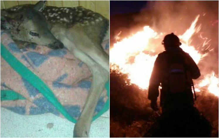 Rescataron a un pequeño ciervo entre las llamas