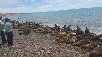 Cientos de lobos marinos sorprendieron en la costa