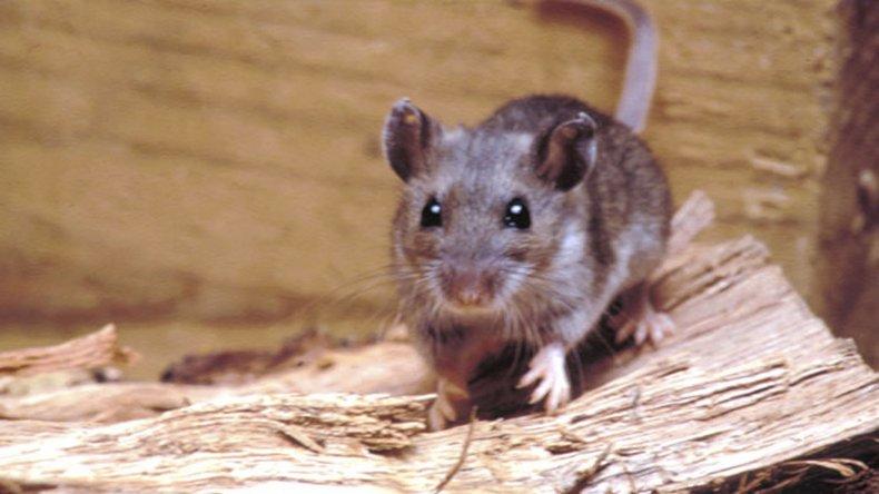 El ratón colilargo es el vector que transmite la enfermedad.