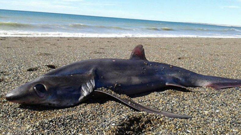 Apareció un tiburón en las costas de Chubut