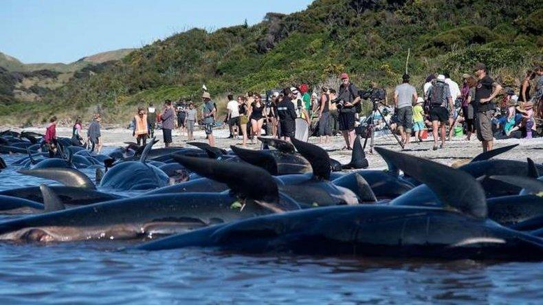 Misterio en Nueva Zelanda: encallaron otras 200 ballenas