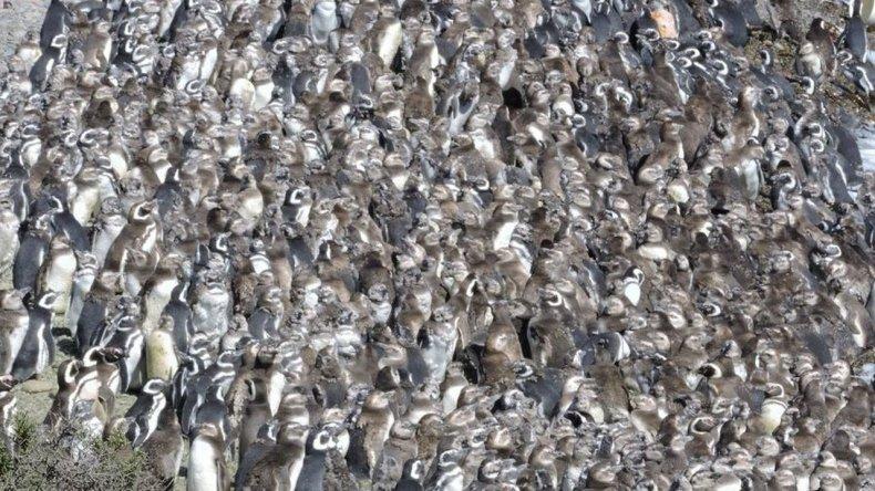 Miles de pingüinos esperan en la costa el comienzo de un nuevo viaje