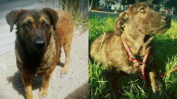 dos perras de la mujer asesinada por su pareja aun buscan un hogar