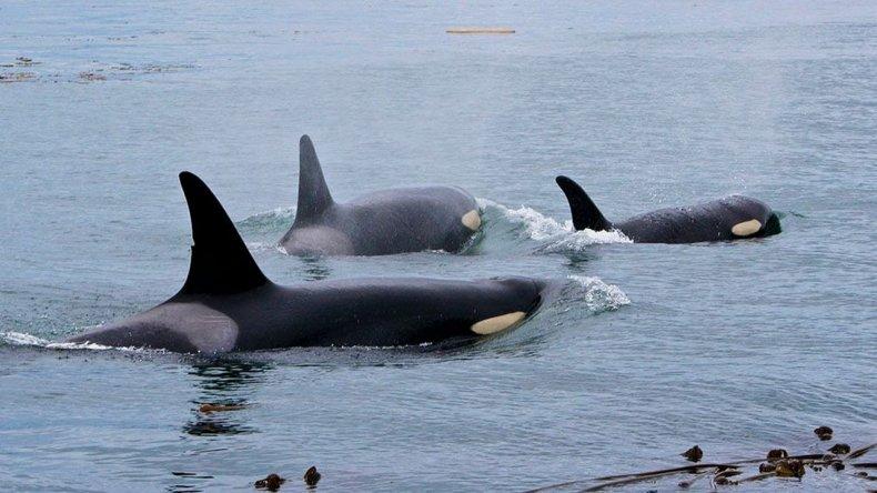 Ya se pueden ver las primeras orcas en Península Valdés
