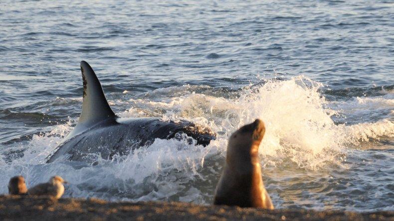 Las primeras orcas llegaron a Península Valdés.