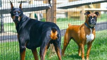 prohiben amputar la cola y orejas a los perros por motivos esteticos