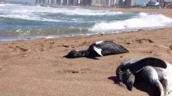 encuentran mas de cien pingüinos de magallanes muertos en la costa argentina