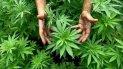 Se aprobó la ley de uso medicinal del cannabis