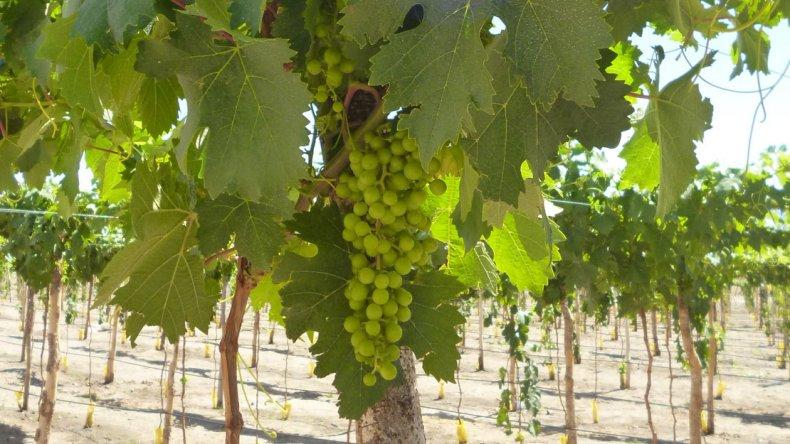 Se trata de un vino diferente ya que se produce en un marcado microclima.