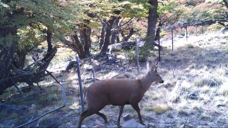 Ejemplar macho de huemul utilizando un paso para el tránsito de la especie a través de los alambrados que limitan la Zona Norte del Parque Nacional Los Glaciares.