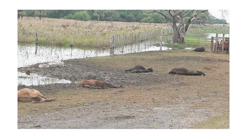 Corrientes: 50 mil animales murieron por las inundaciones