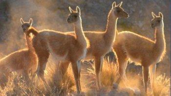 De acuerdo a la proyección de un censo aéreo realizado por el Consejo Agrario y la Universidad Austral en 2013, en la actualidad habría 1.300.000 guanacos en territorio santacruceño.