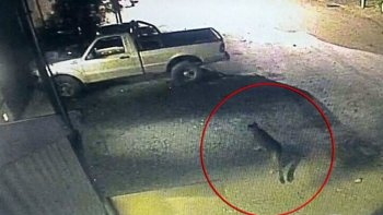 un puma atemoriza a los vecinos de bariloche