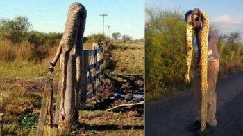 invasion de viboras gigantes tras inundaciones