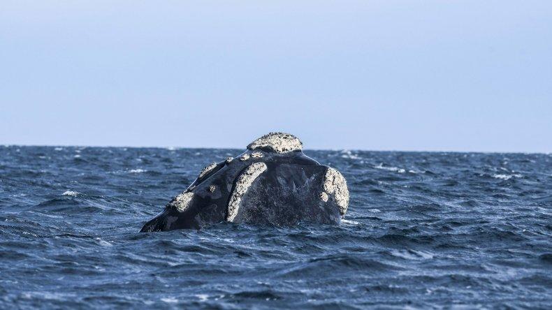 Avistajes de ballenas en Chubut para estas vacaciones