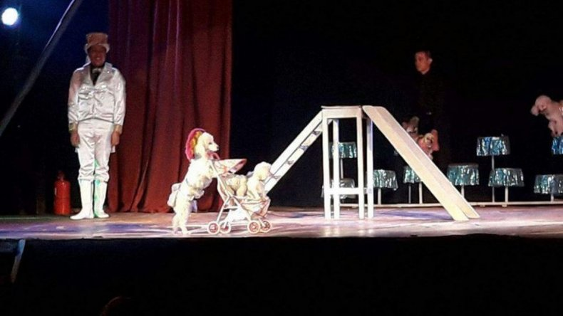 Denuncian a un circo por utilizar caniches en sus funciones