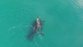 captaron la copula de ballenas en vivo