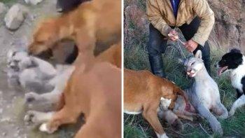 indignacion por salvaje caza de un puma cachorro