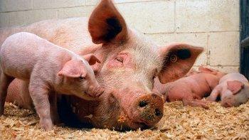la importacion de cerdo de eeuu pone en peligro 35 mil empleos