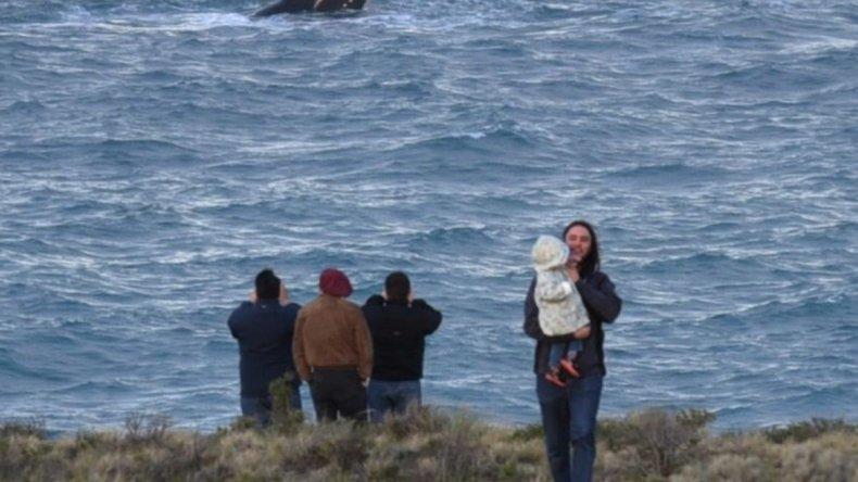 El desplazamiento de los enormes cetáceos es espectáculo constante por estos días y se los puede apreciar muy de cerca en proximidades del paraje La Lobería.