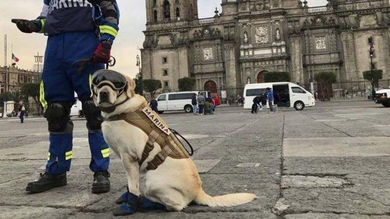 La heroica perrita mexicana que busca sobrevivientes del terremoto