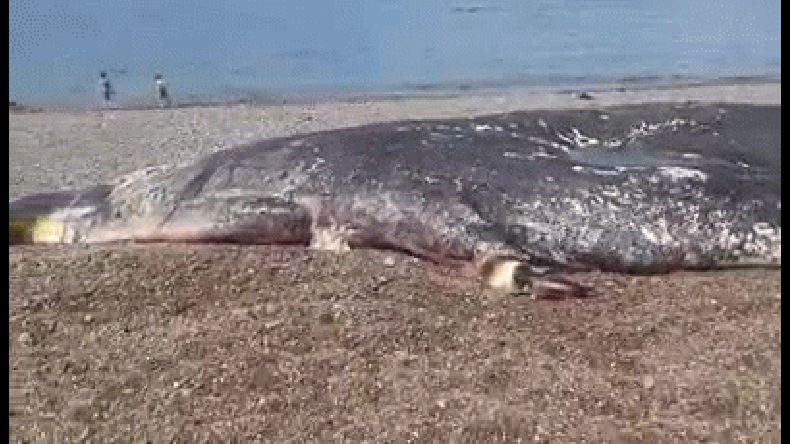 Tomaron muestras de cachalote muerto cerca de Caleta